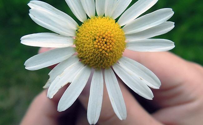 花占いの花